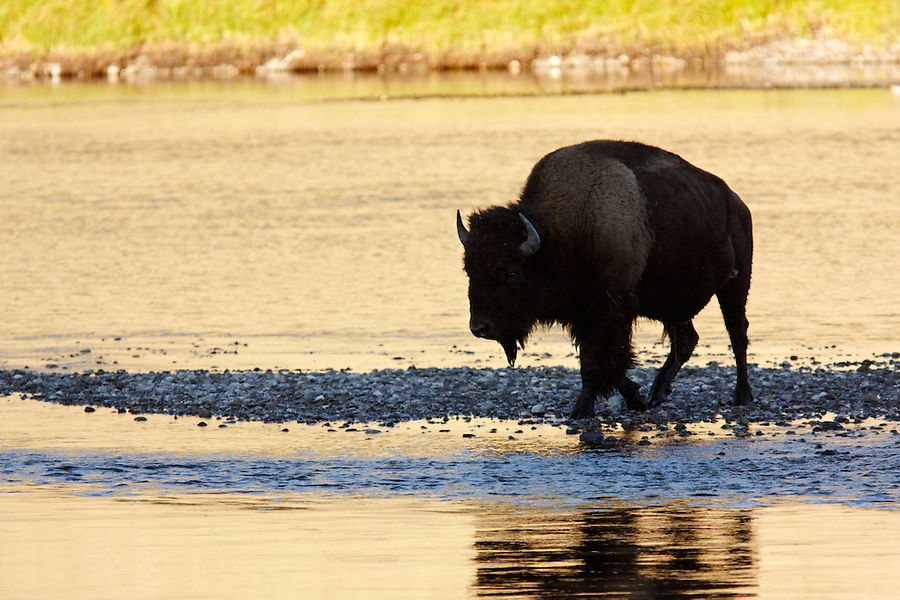 Male bison fording the Hayden River in autumn, Yellowstone National Park, Wyoming, USA