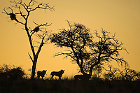 Silhouetted Lions