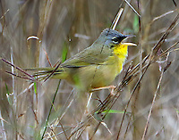 Adult gray-crowned yellowthroat singing