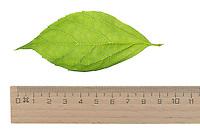 Falscher Jasmin, Gewöhnlicher Pfeifenstrauch, Philadelphus coronarius, Sweet Mock Orange, Seringat des jardins. Blatt, Blätter, leaf, leaves
