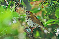Wood Thrush, at the nest, Medford, New Jersey