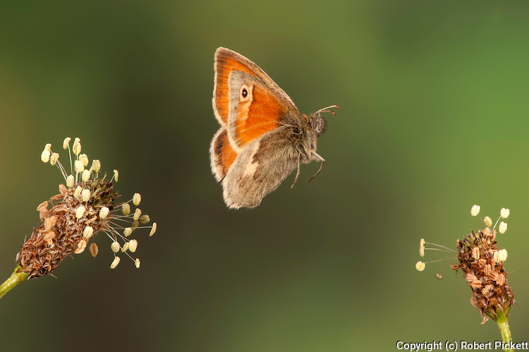 Small Heath Butterfly, Coenonympha pamphilus, In flight, free flying, High Speed Photographic Technique.United Kingdom....