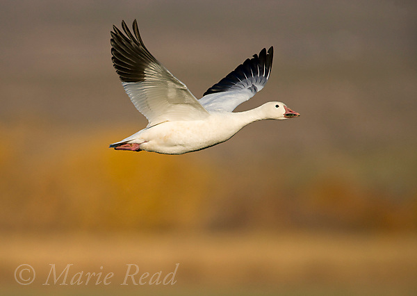 Snow Goose (Chen caerulescens) adult white form in flight, Bosque Del Apache National Wildlife Refuge, New Mexico, USA