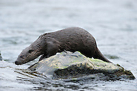 Juvenile Otter in River Tweed,<br /> Lutra lutra,<br /> Scotland - February