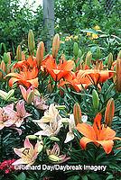 """63821-070.11 Asiatic Lily (Lilium sp. """"Pixie Lily"""")  Marion Co.  IL"""