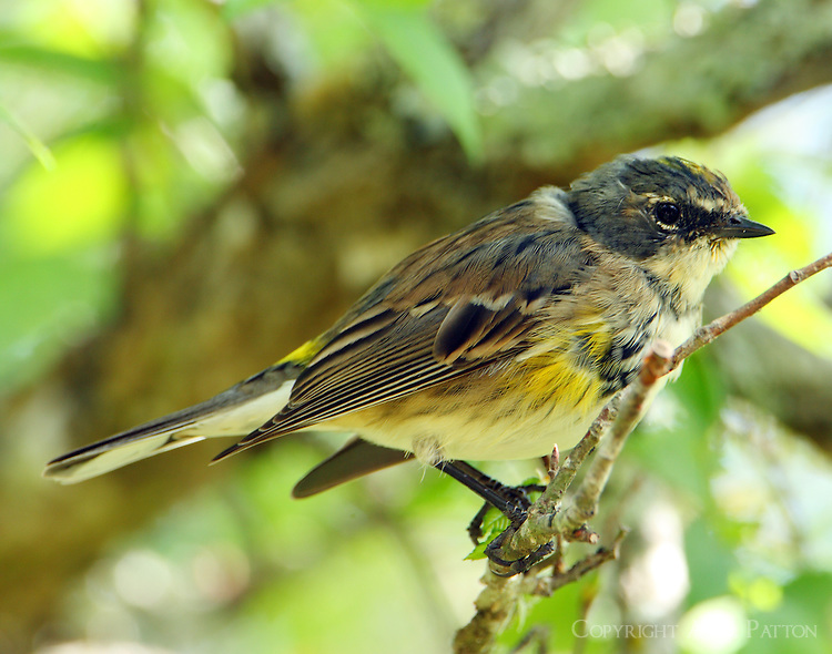 Yellow-rumped warbler (myrtle form) coming into breeding plumage in early April