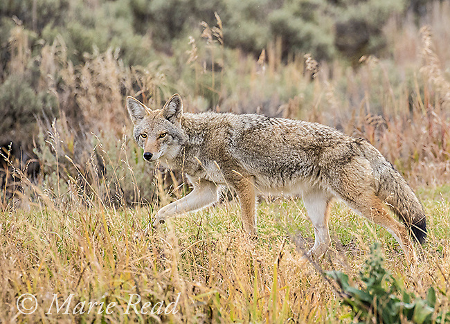 Coyote (Canis latrans), Grand Teton National Park, Wyoming, USA
