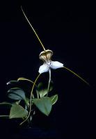 Masdevallia pallida orchid species