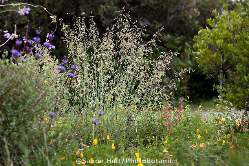 California fescue bunch grass (Festuca californica) flowering in native plant front yard garden