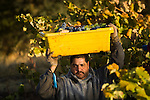 Mouverde and Barbera grape harvest in the Shenandoah Valley of California