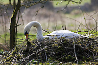 Female mute swan building her nest, Donnington, Gloucestershire, United Kingdom