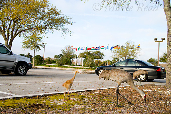 Greater Sandhill Cranes (Grus canadensis) (Florida race), adults and chicks in suburban parking lot, Kissimmee, Florida, USA