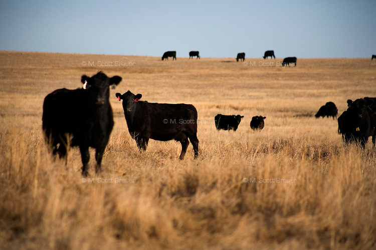 Black angus beef graze in open pastures at the Judisch Ranch outside of Ledger, Montana, USA.