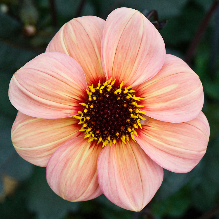 Dahlia 'Happy Single Kiss', mid August.