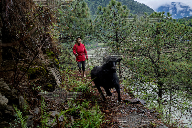Wu Guiying, 53, an ethnic Nu shepherd drives her goats up into the mountains above the Nujiang River close to her home.