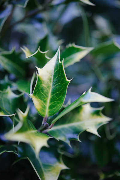 Ilex aquifolium 'Flavescens'