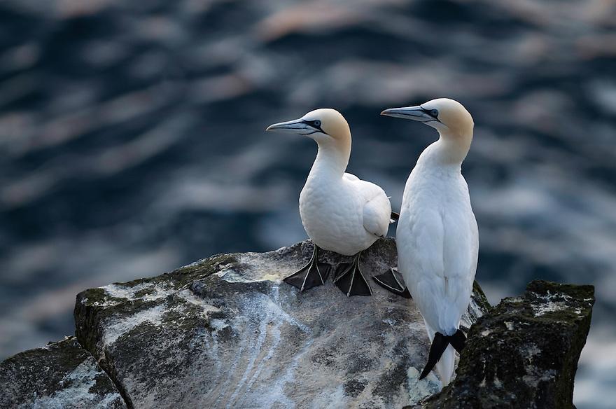 23.07.2008.Northern gannet  (Morus bassanus).Seabird cliff.Langanes peninsula, Iceland