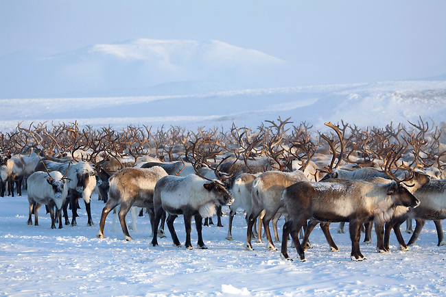 A herd of reindeer near their winter pastures on the Chukotskiy Peninsula. Chukotka, Siberia, Russia