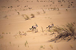 family of Gemsbok  (Oryx Gazella Gazzellan) in the Namib Naukluft desert ...