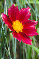 Coreopsis Mercury Rising, red