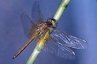 Gefleckte Heidelibelle, Weibchen, Sympetrum flaveolum, yellow-winged darter, yellow winged sympetrum, female