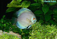 0116-0901  Blue Discus (Blue Turquoise Discus), Symphysodon aequifasciata  © David Kuhn/Dwight Kuhn Photography.