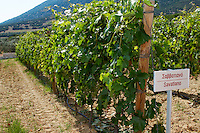 Vines. Savatiano vine variety. Biblia Chora Winery, Kokkinohori, Kavala, Macedonia, Greece