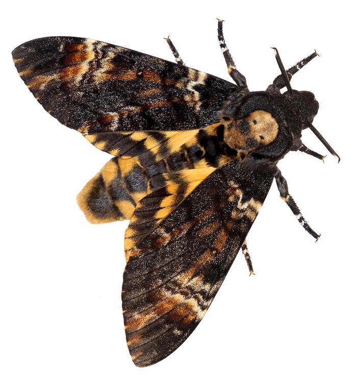 Death' Head Hawkmoth - Acherontia atropos