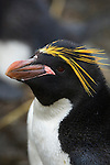 Portrait of a macaroni penguin at Cooper Bay on South Georgia Island.
