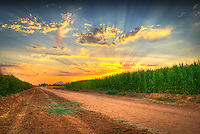 Cornfield in Arizona at sunset