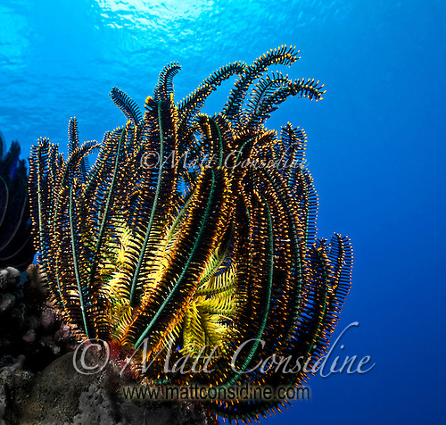 Feather Star (crinoid) with a yellow heart and delicate amber tipped black fern-like tendrils against a blue that you only find in the clearest water, Palau Micronesia. (Photo by Matt Considine - Images of Asia Collection) (Matt Considine)