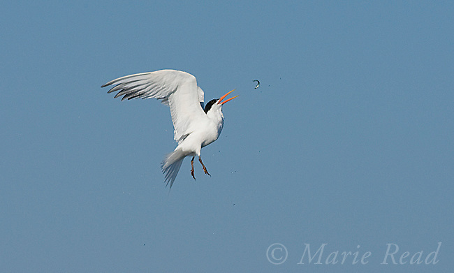 Elegant Tern (Sterna elegans), recatching a fish that it dropped inadvertently  in midair, Bolsa Chica Ecological Reserve, California, USA