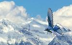 Male Mountain Bluebird (Sialia currucoides) flying along Rocky Mountains, USA.