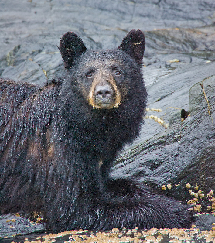 Black Bear sow with surprised look while eating barnaclesd
