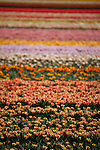 Flower fields in Lisse, Holland. Tulips fields and commercial crops of other flowers near the Keukenhof flower show, in the Netherlands