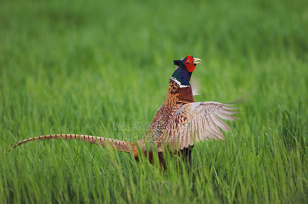 Ring-necked Pheasant, Phasianus colchicus,male calling, National Park Lake Neusiedl, Burgenland, Austria, Europe