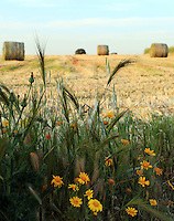 Stock image - Wild grass and daisy flowers overlooking a hay bales farm in Cyprus.