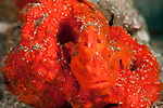 Orange painted frogfish (Antennarius pictus) on a sponge.