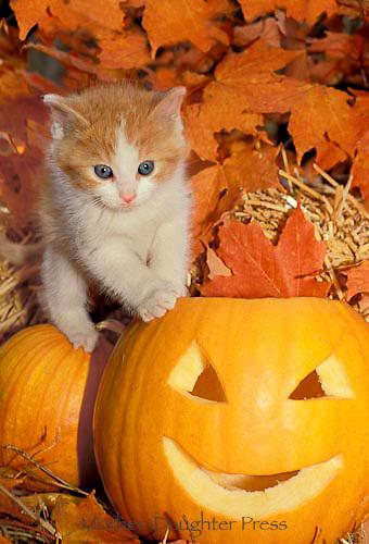 Gold tabby kitten climbs on jack o lantern, halloween, fall, midwest USA