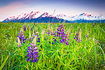 Lupine field at sunset. Snow capped Chugach Mountains in the background. Turnagain Arm of Cook Inlet, Southcentral Alaska, Summer.