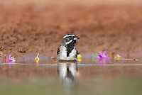 578670030 a wild black-throated sparrow amphispiza bilineata bathes in a small pond in the rio grande valley in south texas