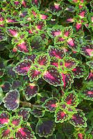 Solenostemon (Coleus) 'Whittonii'