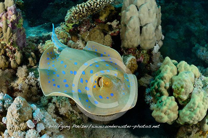 Taeniura lymma, Blaupunktstechrochen, Rochen, Bluespotted Ribbontail Stingray, Ray, Rotes Meer, Ägypten, Red Sea, Egypt