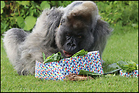 BNPS.co.uk (01202 558833)<br /> Pic: IanTurner/Longleat/BNPS<br /> <br /> Lettuce again...<br /> <br /> Like most 56 year old's, Nico, Longleat Safari Park's oldest resident, looked like he hoped staff had forgotten his birthday this week.<br /> <br /> The ageing Western Lowland silverback is the oldest Gorilla in Europe, and the second oldest in the world.<br /> <br /> The grumpy ape had a cursory glance at his birthday card which had his face on it with a tongue in cheek caption to 'try and contain your excitement' but then unceremoniously discarded it. <br /> <br /> However, the grumpy gorilla did crack a smile as he devoured his birthday cake which was made out of bananas and courgettes with some carrot candles.