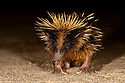 Yellow streaked tenrec {Hemicentetes semispinosus} at night with spines erected in threat display, Maroansetra, Madagascar