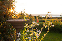 Flowering, scented white nicotiana, golden in the sunset light.