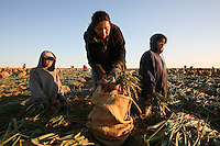 As the sun rises on Prosser, Washington, Maria Cervantes and her twin daughters gather harvested onions into burlap bags for Sun Haven Farms on August 9, 2006. <br /> Harvesting bulbs in one of the few jobs that 12 and 13-year-olds are permitted to do in Washington. Maria brought her daughters to the harvest this year so they would appreciate the difficulty of this work and continue to do well in school.
