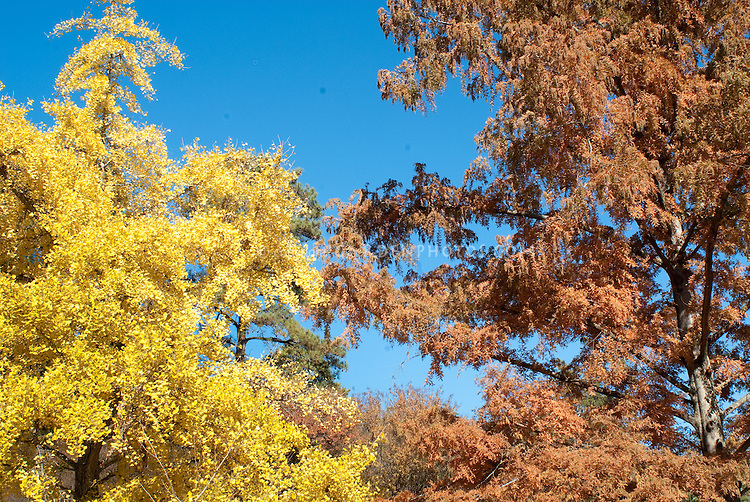 Ginkgo biloba tree in autumn color and Metasequoia glyptostroboides Dawn Redwood in fall foliage, one of original seedlings collected from the discovery in western China