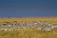 Burchell's Zebra or Plains Zebra (Equus burchelli), Africa.  Serengeti Plains, Zebra migration.