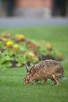 Brown hare (Lepus europaeus) eating grass at a cemetery in the North west of England.